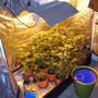Bei einer Hausdurchsuchung in Nebikon LU stiessen die Polizisten in einer Scheune auf eine Indoor-Hanfanlage mit 80 Pflanzen.