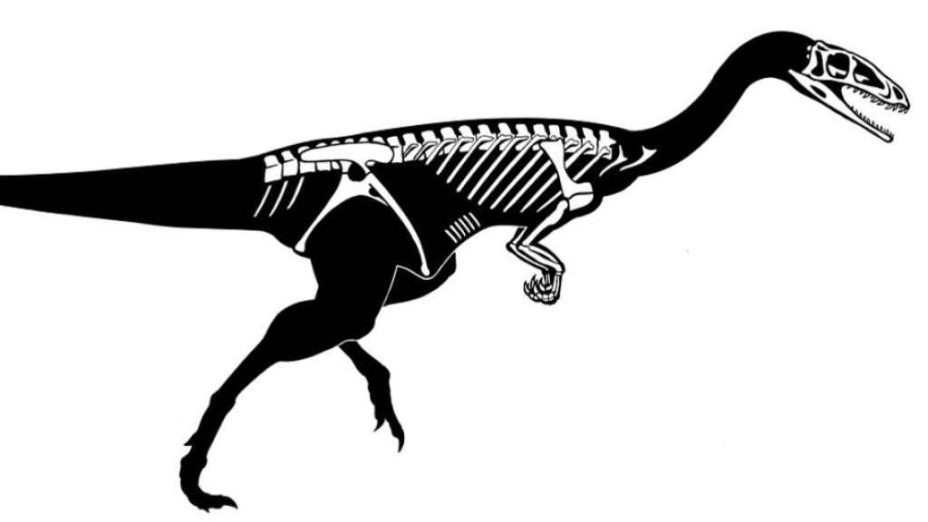 Die Abbildung zeigt die erhaltenen Skelettelemente des Raubdinosauriers, den Forschende in Frick AG gefunden haben.