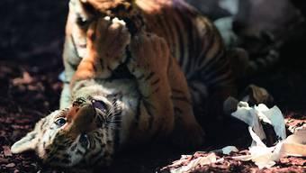 Die zwei gesunden jungen Tiger beim Spielen im Walter-Zoo in Gossau SG