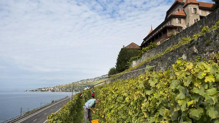 Viele Schweizer Winzer bangen um ihre Pflanzen (Symbolbild).