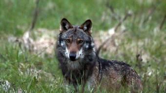 WWF und Pro Natura wollen den Tod eines Wolfs im Wallis verhindern. Sie haben Rekurs eingelegt gegen eine Abschussbewilligung im Val d'Anniviers. Nach Ansicht der Naturschutzverbände waren die Herdenschutzmassnahmen ungenügend. (Themenbild)
