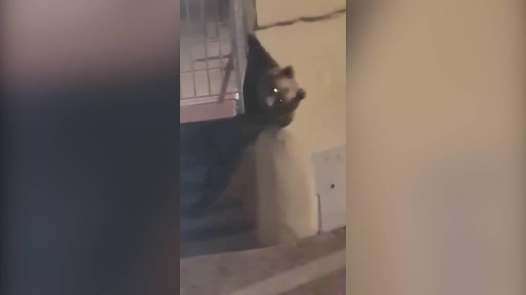 Tierischer Einbruchversuch: Bär klettert auf Balkon im ersten Stock