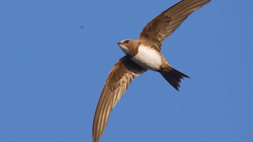 Ähnelt einem kleinen Falken: Der Alpensegler erreicht sein tropisches Winterquartier in Windeseile.