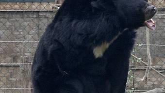 Schwarzbär greift in Japan 9 Menschen an (Archiv)