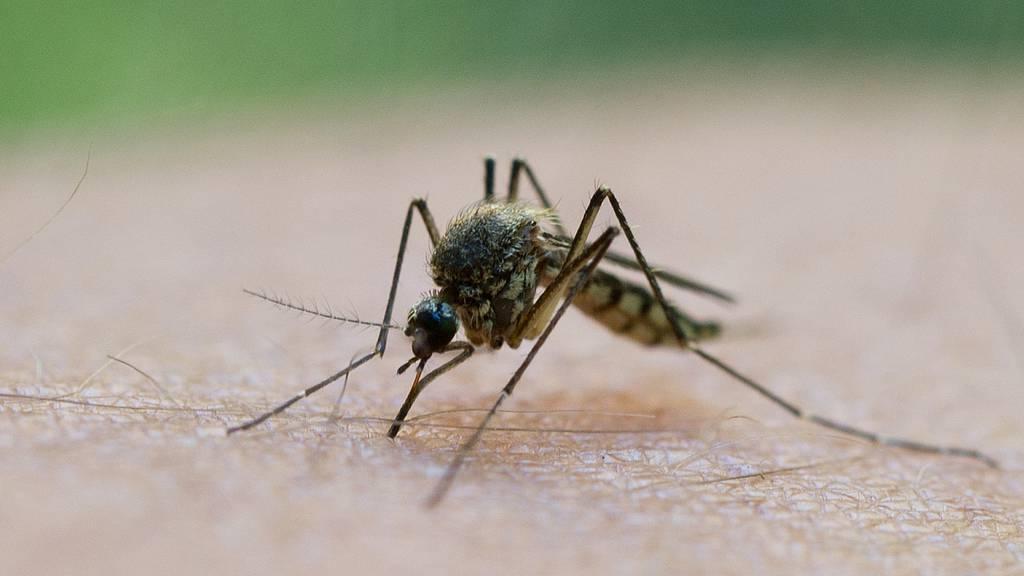 Asiatische Buschmücke vermiest uns den Sommer