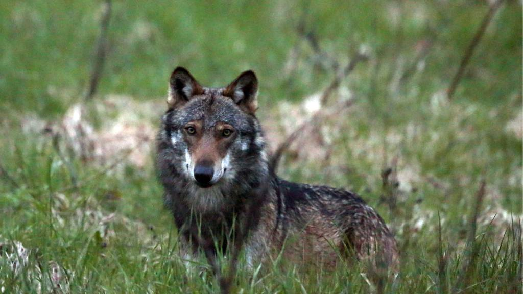 Im Kanton Wallis kommt der Wolf erneut vors Volk