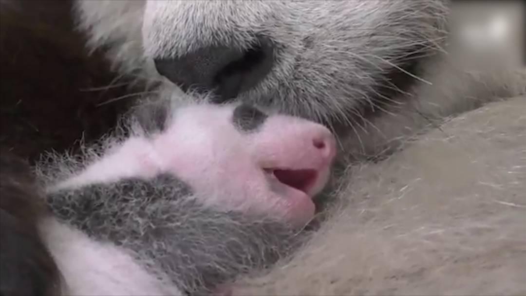 Gesund und munter: Berliner Panda-Zwillinge