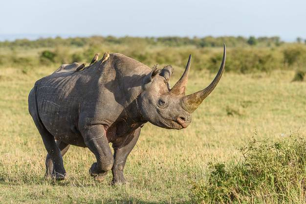 Dieser Spitzmaulnashorn-Bulle lebt in Kenia und ist den Wilderern bisher entkommen.