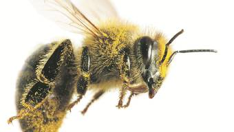 Für ein Kilo Honig legen Bienen eine Strecke zurück, die einem Mehrfachen des Erdumfanges entspricht.