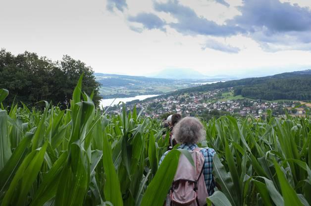 4. Etappe: Der Wanderweg führt durch ein Maisfeld