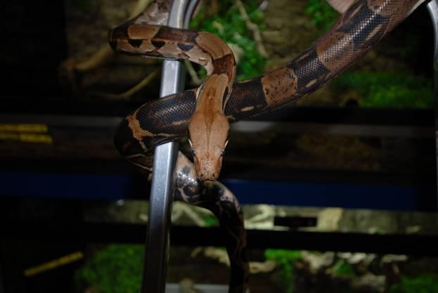 Die Schlange ist ein Männchen und zirka 4 bis 5 Jahre alt