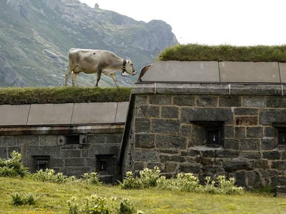 Früher ein Bunker der Armee, heute ein Museum und Bummelplatz für Kühe: Anlage auf dem Gotthardpass. Zahlreiche Bunker haben ein neues Leben erhalten. (Archivbild)