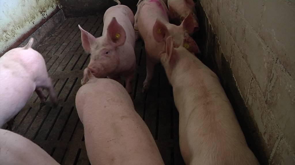 Tierquälerei: Bauer wegen falscher Narkotisierung verurteilt
