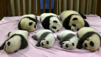 Sieben junge Pandas schlafen