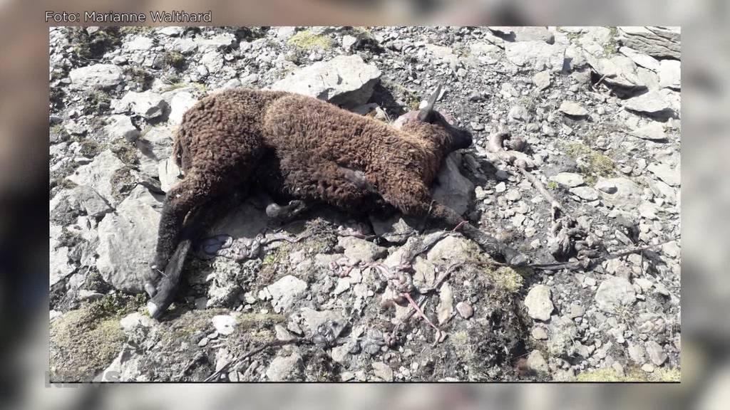 Wolf reisst 5 Schafe auf der Alp Tschingelfeld: «Schutzmassnahmen sind unmöglich», sagt der Hirt