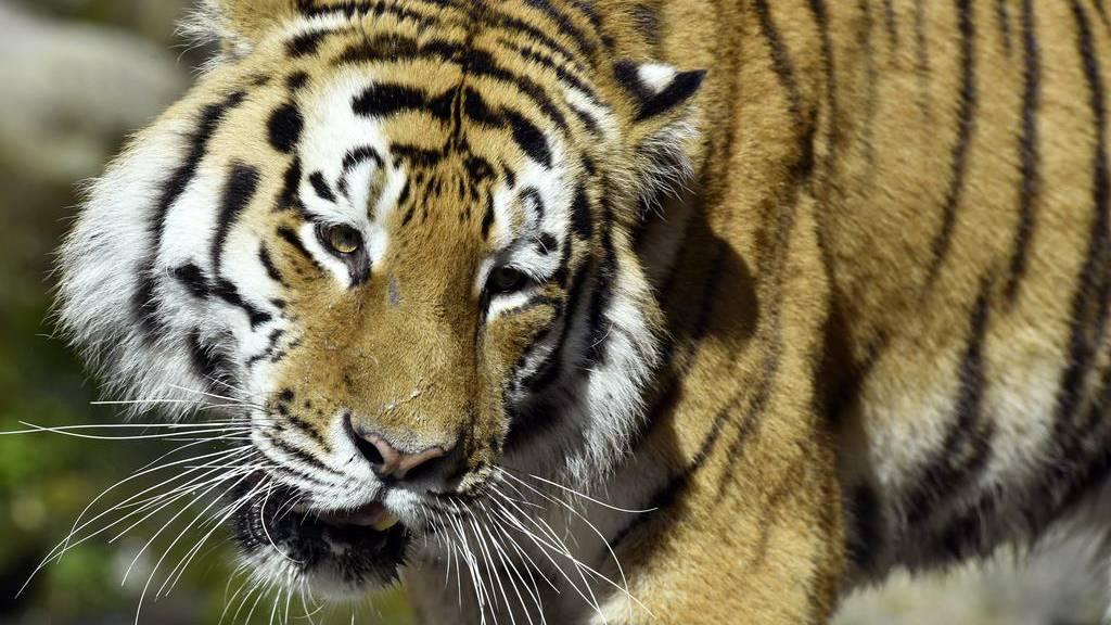Tigerin Elena wurde zu Tode gebissen