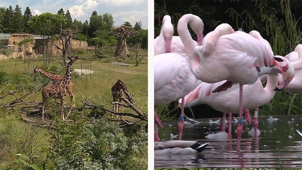 Afrika auf dem Zürichberg / WiedereröffnungTierpark Bern