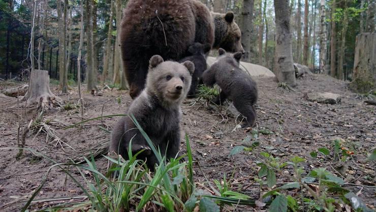 Die drei jungen Braunbären