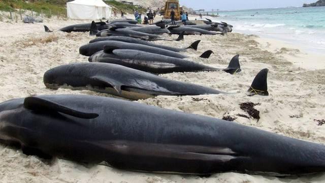 Gestrandete Wale an der Küste Australiens (Archiv)