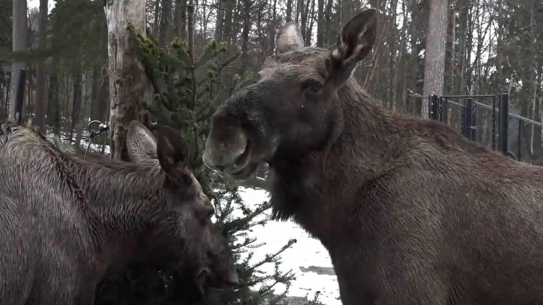 Stacheliger Festschmaus für Elche im Wildnispark Zürich