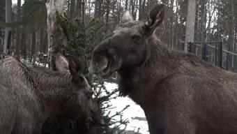 Überzählige Christbäume: Ein Stacheliger Festschmaus für die Elche im Wildnispark Zürich.