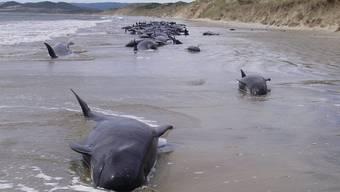 Schon im Februar sind an Neuseelands Küste gestrandete Wale qualvoll verendet (Archiv)