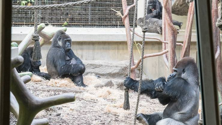 Ausser Faddama und ihren Kindern besteht die Gorillagruppe im Zoo Basel aus M'Tongé (20), Joas (30), Mobali (4), Quarta (51) und Adira (13).