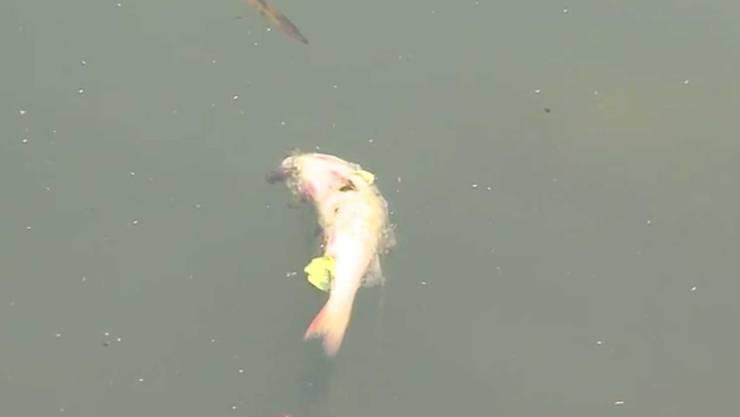 Auch am Freitag trieben noch tote Fische an der Oberfläche des Inkwilersees.
