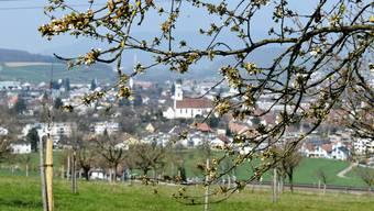 Jeden Tag öffnen sich die Knospen mehr: Die Kirschbäume oberhalb von Frick stehen kurz vor der Blüte.