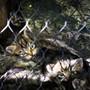 Am 27. März sind im Zoo La Garenne in Le Vaud VD fünf Wildkatzenbabys geboren worden. Nach etwas mehr als drei Wochen wagen sie sich allmählich aus dem sicheren Versteck.