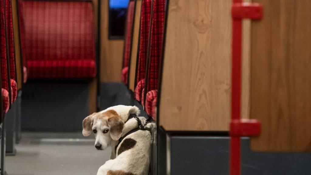 Studie: Stadthunde sind ängstlicher als Landhunde