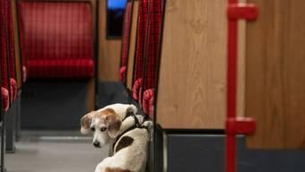 Stadthunde leiden häufig unter Ängsten, wie eine Studie beweist. Abhilfe schaffen unter anderem Kontakte mit Artgenossen im Welpenalter und ein aktiver Alltag. (Symbolbild)
