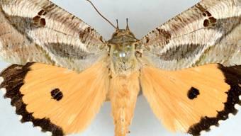 Dank Nanostrukturen ändern die vorderen Flügel der Männchen von Eudocima materna ihr Aussehen je nach Blickwinkel. Beim Flattern schillern dadurch die Flügel.