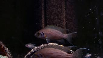 Buntbarsch-Brutpaar mit einem Bruthelfer (links) und wenige Tage altem Nachwuchs (kleine Jungfische, rechts).