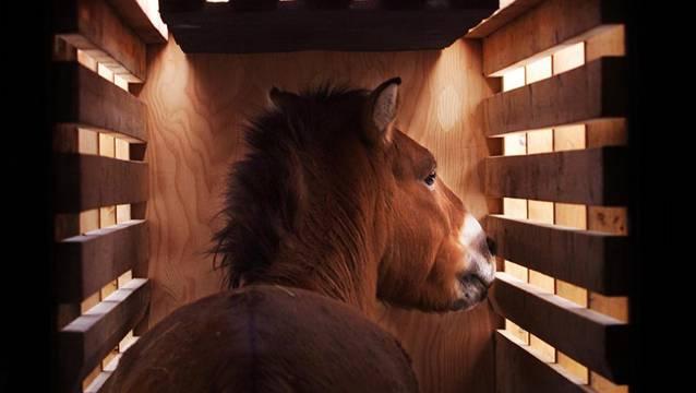Die Transportwege für Pferde sollten möglichst kurz sein, sagen die Tierärzte. Foto: Keystone