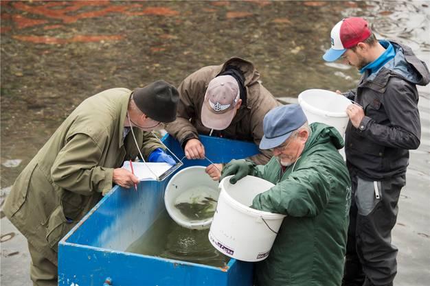 Die Fischereiaufseher begutachten, welche Fische ihnen ins Netz gingen.Alex Spichale