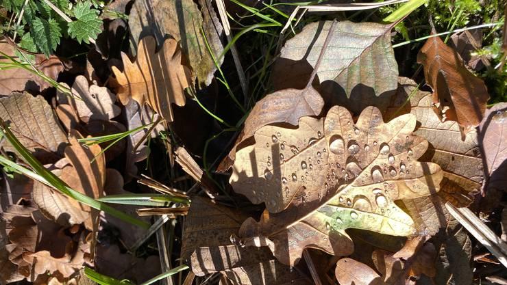 Herbsttropfen im Urdorfer Wald 2. 11. 20
