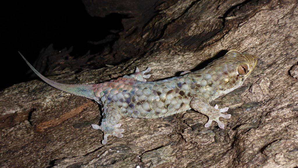Wirft bei Angriff gleich sein Schuppenkleid ab: Der in Madagaskar lebende Gecko Geckolepis megalepis.