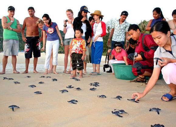 Touristen beobachten in Phuket die Jungtiere auf ihrem Marsch ins Meer.