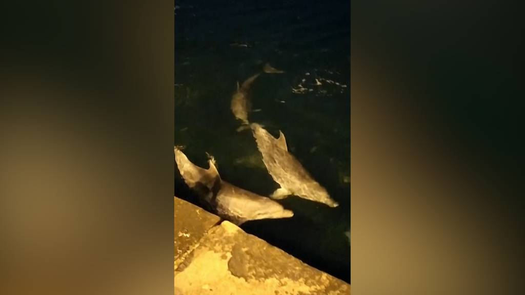 Corona-Lockdown lockt Delfine nach Istanbul