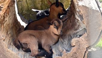 Suchten sich einen Schattenplatz: Im Mai geborene Geisslein vom Tierpark Mühletäli.