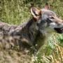 Der Wolf verliere zunehmend die Scheu vor dem Menschen und komme immer näher an die Siedlungen heran und suche zum Teil schon in bewohnten Gebieten nach Nahrung, so Christian Imark. (Symbolbild)