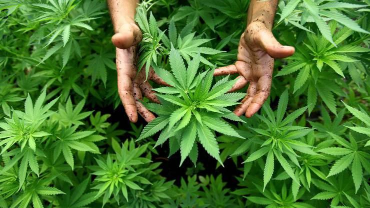 Die Hanfpflanze Cannabis.