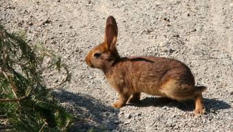 Die Kaninchen im Wildpark Roggenhausen haben schon mit der Vorbereitung für die wärmere Jahreszeit begonnen. (Archiv)