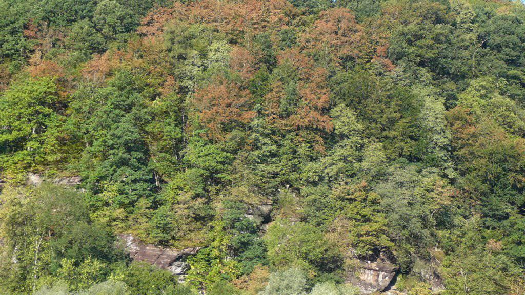 In einem Mischwald in der Nähe von Mels sind Ende Juli 2018 schon zahlreiche Buchenkronen vergilbt oder teilweise entlaubt als Folge der Trockenheit. Jenes Areal liegt an einem Nordosthang in rund 600 Metern Höhe auf flachgründigem Boden.