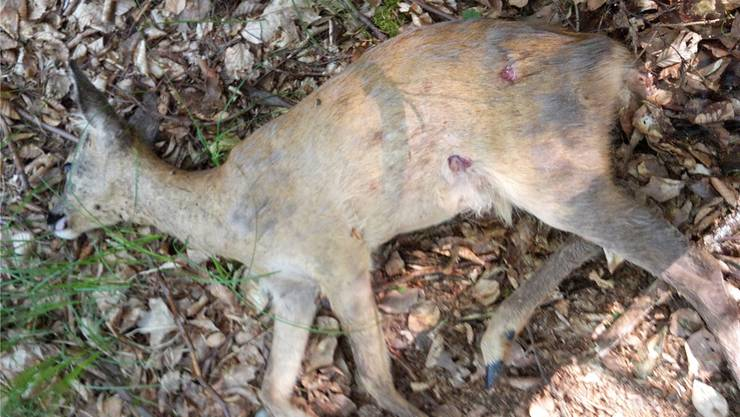 Bereits das zweite Hunde-Opfer innert weniger Wochen: ein toter Jährlingsbock. ZVG