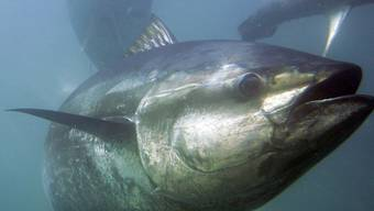 Radioaktive Stoffe in Blauflossen-Thunfischen gefunden (Symbolbild)