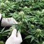 Cannabis wird häufig eingesetzt, um chronische Schmerzen von Krebspatienten zu lindern. (Symbolbild)