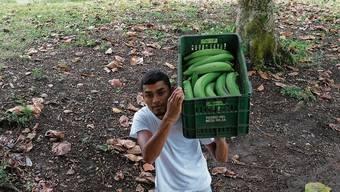 Auf Kolumbiens Bananenbauern kommen schwierige Zeiten zu. Das Milliardengeschäft droht zu versiegen.