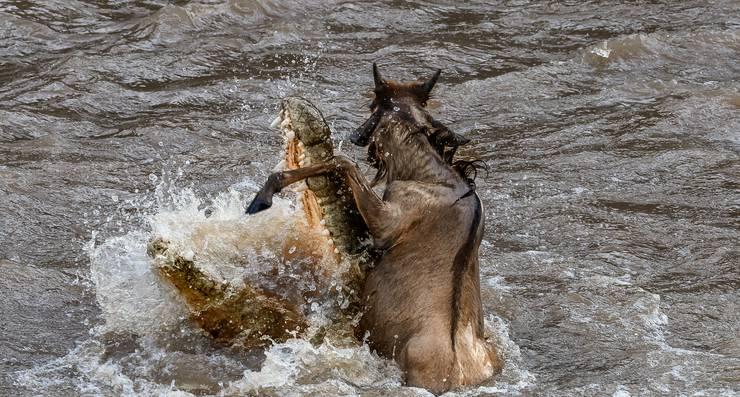 Ein Gnu ist knapp dem sicheren Tod entkommen.
